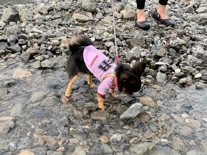 人生初めての川にビビるチワワ
