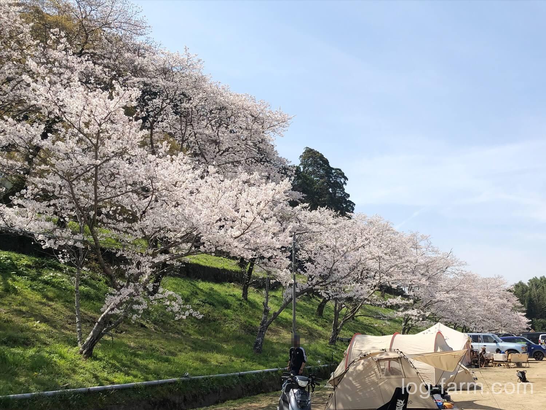 笠置に咲く満開の桜